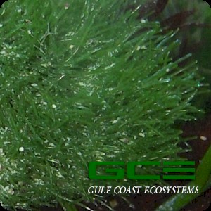 Macroalgae For Marine Reef Aquariums Cladophora Prolifera