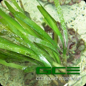 Macroalgae For Marine Reef Aquariums: Turtle Grass