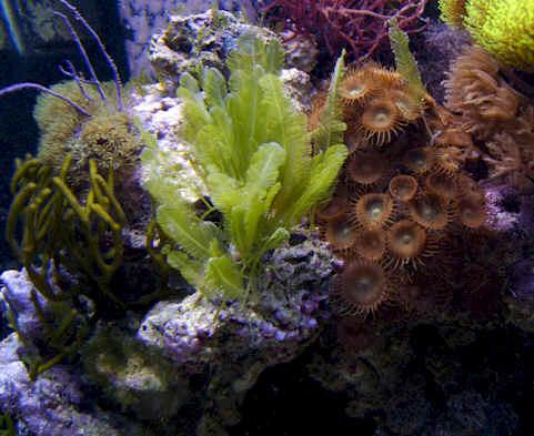 Macroalgae for marine reef aquariums marine plant food for Distilled water for fish tank